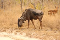 Blue Wildebeest Stock Image