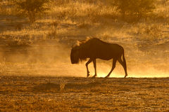Blue wildebeest. A blue wildebeest in dust at sunset, Kalahari, South Africa royalty free stock images