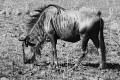 Blue Wildebeest. At Pilanesberg National Park. South Africa royalty free stock photos