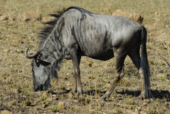 Blue Wildebeest. At Pilanesberg National Park. South Africa stock photos