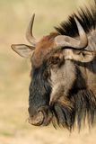 Blue wildebeest Royalty Free Stock Photos