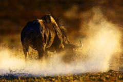 Blue wildebeest. Connochaetes taurinus; South Africa; Kalahari dessert Stock Photos
