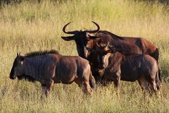 Blue Wildebeest. Standing with grassy landscape in background Royalty Free Stock Photos