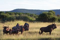Blue Wildebeest. Standing with grassy landscape in background Stock Photos