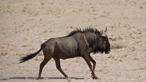 Blue Wildebeest in Action Royalty Free Stock Photography