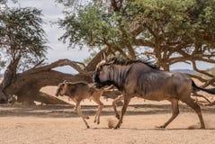 Wildebeest adult and wildebeest baby royalty free stock photo