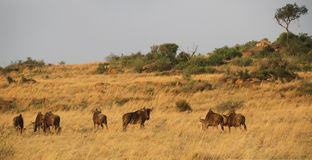 Blue Wildebeest in Africa. Royalty Free Stock Photo