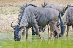 Blue Wildebeest - African Wildlife Background - Posture of Survivors. Blue Wildebeest antelope visit a watering hole, as seen in the wilds and wilderness of Stock Photography