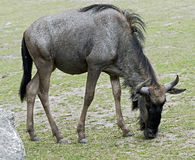 Blue wildebeest 2 Royalty Free Stock Photography