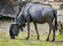Blue wildebeest 5 Royalty Free Stock Images