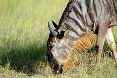 Blue wildebeest, Amboseli National Park, Kenya Stock Photos
