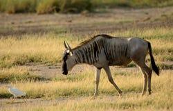 Blue wildebeest, Amboseli National Park, Kenya Stock Images