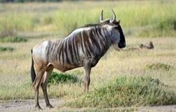 Blue wildebeest, Amboseli National Park, Kenya Royalty Free Stock Photos