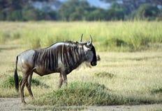 Blue wildebeest, Amboseli National Park, Kenya Royalty Free Stock Photography
