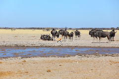 Blue Wildebeest And Springbok At Waterhole Stock Photo