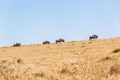 Blue Wildebeest Animals Wildlife Hillside Royalty Free Stock Image