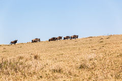 Blue Wildebeest Animals Wildlife Terrain Royalty Free Stock Image