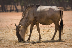 Blue Wildebeest antelope Royalty Free Stock Images