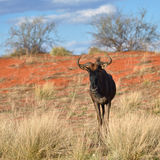Blue wildebeest antelope Stock Images