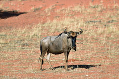 Blue wildebeest antelope. Blue wildebeest, Connochaetes taurinus, in the meadow, big animal in the nature habitat, Namibia, Kalahari desert, Africa Royalty Free Stock Image