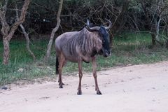 Blue wildebeest antelope crossing the road Royalty Free Stock Images