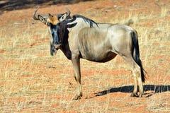 Blue wildebeest antelope Stock Photo