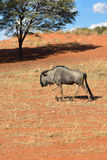 Blue wildebeest antelope. Blue wildebeest (Gnu or Connochaetes taurinus) in the Kalahari desert. Big animal in the nature habitat, Namibia, Africa Stock Photography