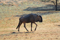 Blue wildebeest antelope. Blue wildebeest (Gnu or Connochaetes taurinus) in the Kalahari desert. Big animal in the nature habitat, Namibia, Africa Royalty Free Stock Photos