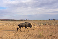 Blue wildebeest antelope. Blue wildebeest (Gnu or Connochaetes taurinus) in the Kalahari desert at sunset time. Big animal in the nature habitat, Namibia Royalty Free Stock Photo