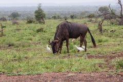 Blue wildebeest antelope grazing royalty free stock image