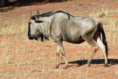 Blue wildebeest antelope, Namibia Stock Images