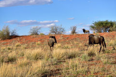 Blue wildebeest antelopes Stock Photography