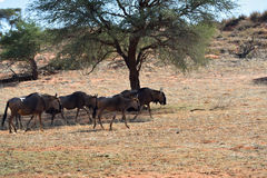Blue wildebeest antelopes. Herd of blue wildebeest, Connochaetes taurinus, in the bush in sun backlight, big animal in the nature habitat, Namibia, Kalahari Royalty Free Stock Image
