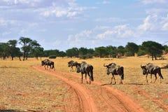 Blue wildebeest antelopes, Namibia Stock Images