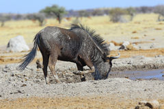Blue Wildebeest At The Waterhole Royalty Free Stock Photos