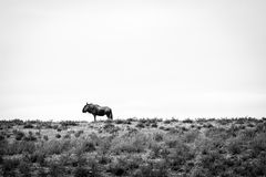 Blue wildebeest in black and white. Stock Photos