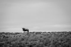 Blue wildebeest in black and white. Stock Photography