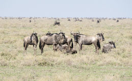 Blue Wildebeest or Brindled Gnu Connochaetes taurinus in Migration on the Serengeti Stock Image