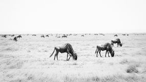 Blue Wildebeest or Brindled Gnu Connochaetes taurinus in Migration on the Serengeti Royalty Free Stock Images