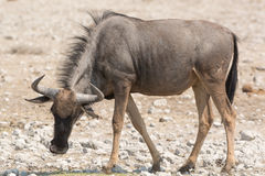Blue Wildebeest (Brindled Gnu) Royalty Free Stock Images