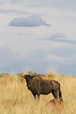 Blue wildebeest bull Stock Photography