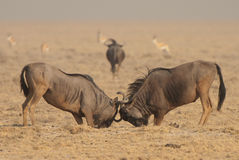 Blue  wildebeest bulls sparring. Forequarters higher and much heavier than hind quarters; dark grey with some brown in younger animals and cows with darker Stock Photos