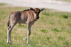 Blue Wildebeest Calf. Connochaetes taurinus stock photos