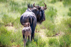 Blue wildebeest with a calf. Stock Image