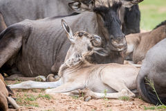 Blue wildebeest calf laying down. Stock Image