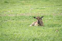 Blue wildebeest calf laying in the grass. Royalty Free Stock Photos