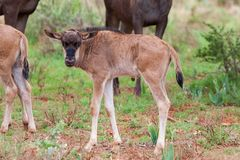 Blue Wildebeest Calf Royalty Free Stock Photo