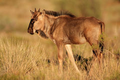 Blue wildebeest calf Royalty Free Stock Photography