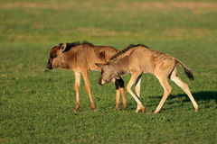 Blue wildebeest calves Royalty Free Stock Photography