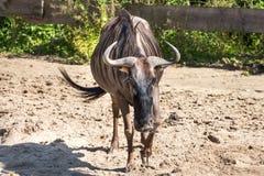 Blue wildebeest. Common wildebeest held in captivity Royalty Free Stock Images
